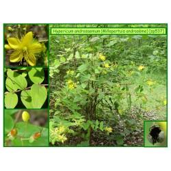 Millepertuis androsème - Hypericum androsaemum - 537