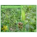 Millepertuis velu - Hypericum hirsutum - 201
