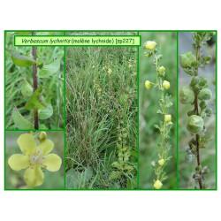 Molène lychnite f. jaune - Verbascum lycnitis - 227