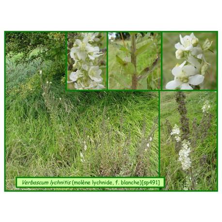 Molène lychnite f. blanche - Verbascum lychnitis - 491