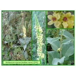 Molène noire - Verbascum nigrum - 241