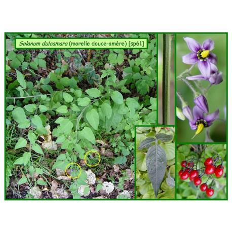 Morelle douce-amère - Solanum dulcamara - 061