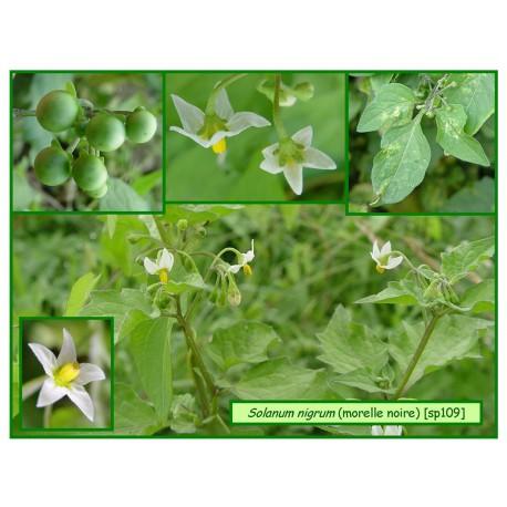 Morelle noire - Solanum nigrum - 109
