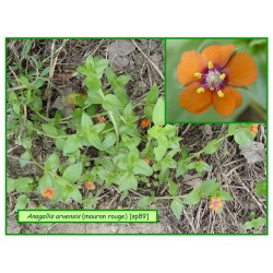 Mouron rouge - Anagallis arvensis - 089