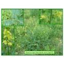 Moutarde noire - Brassica nigra - 215
