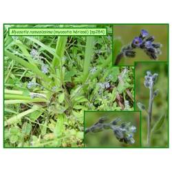 Myosotis hérissé - Myosotis ramosissima - 284