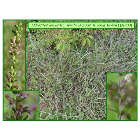 Odontite rouge tardive - Odontites vernus ssp. serotinus - 200