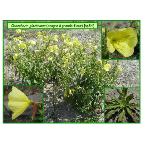 Onagre à grande fleur - Oenothera glaziovana - 084