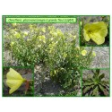 Onagre à grandes fleurs - Oenothera glaziovana - 084