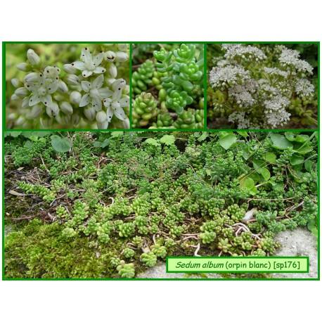 Orpin blanc - Sedum album - 176