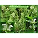 Lamier blanc, ortie blanche - Lamium album - 095