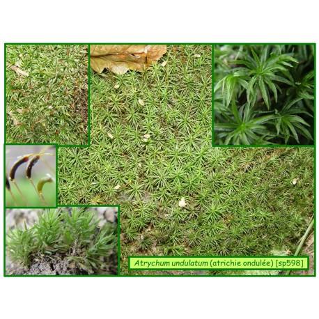 Atrichie ondulée - Atrychum undulatum -598