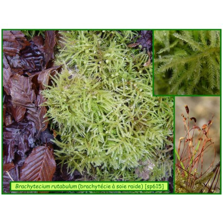 Brachytécie à soie raide - Brachytecium rutabulum- 615