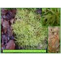 Brachytécie à soie raide - Brachytecium rutabulum - 615