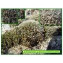 Grimmie en coussinnets - Grimmia pulvinata - 605