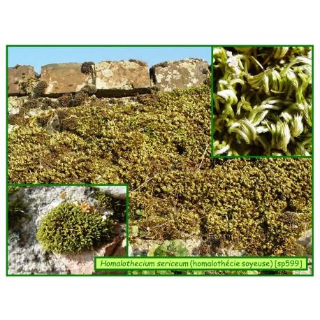 Homalothécie soyeuse - Homalothecium sericeum - 599