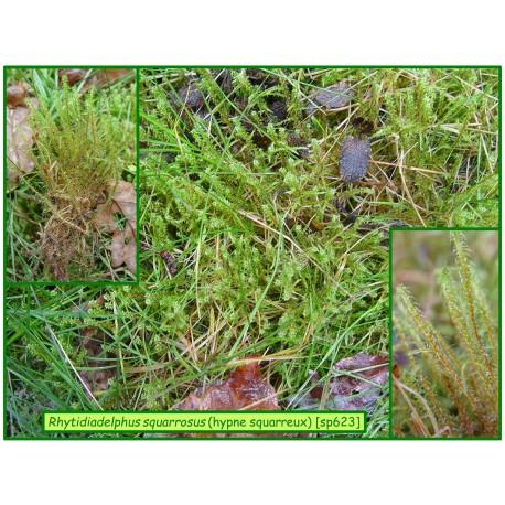 Hypne squarreux - Rhytidiadelphus squarrosus - 623