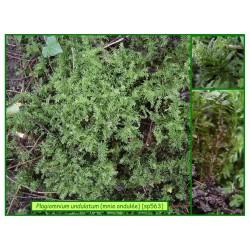 Mnie ondulée - Plagiomnium undulatum - 563