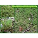 Polytric genévrier - Polytrichum juniperinum - 581