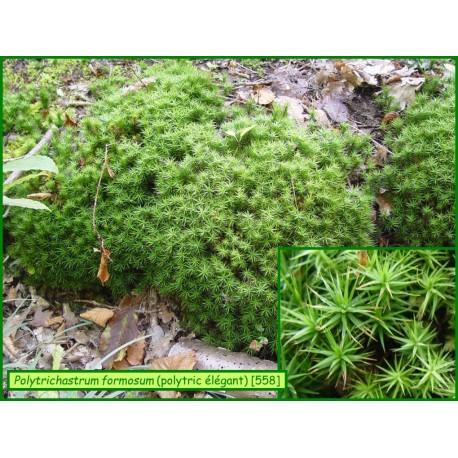 Polytric élégant - Polytrichum formosum - 558