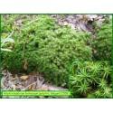 Polytric élégant - Polytrichastrum formosum - 558