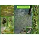 Potamot pectiné - Potamogeton pectinatus - 506