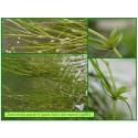 Zannichellie des marais - Zannichellia palustris - 553
