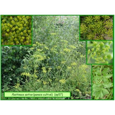 Panais cultivé - Pastinaca sativa - 57