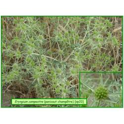 Panicaut champêtre - Eryngium campestre - 020