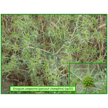 Panicaut champêtre - Eryngium campestre - 20