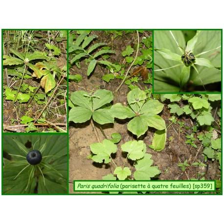 Parisette à quatre feuilles - Paris quadrifolia - 359