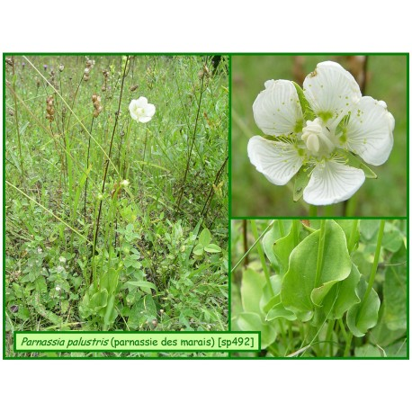 Parnassie des marais - Parnassia palustris - 492