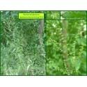 Patience des bois - Rumex sanguineus - 723