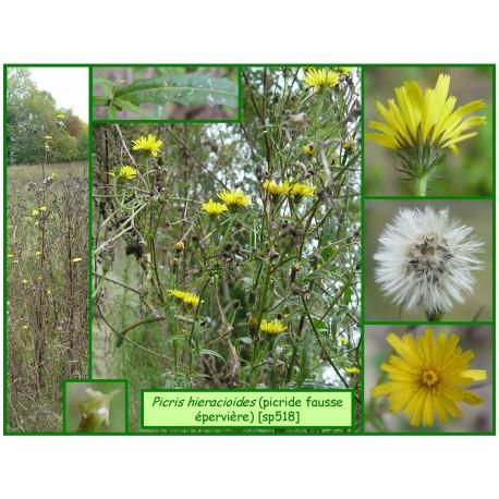 Picride fausse épervière - Picris hieracioides - 518