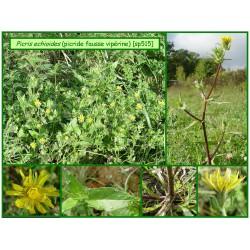 Picride fausse vipérine - Picris echioides - 515