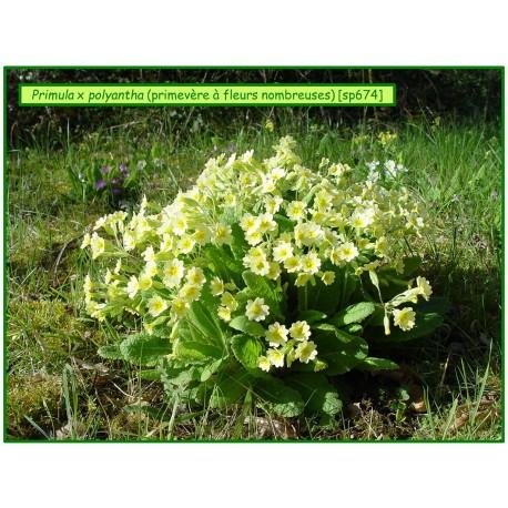 Primevère à fleurs nombreuses - Primula x polyantha - 674