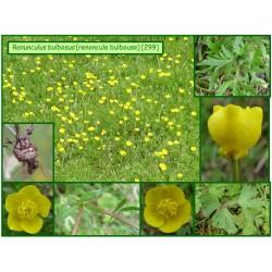 Renoncule bulbeuse - Ranunculus bulbosus - 299