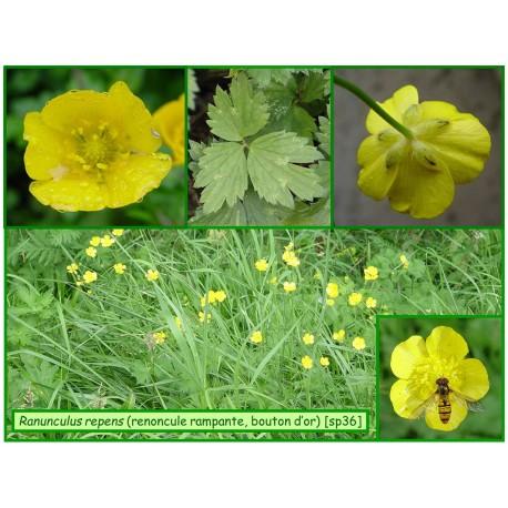Renoncule rampante, bouton d'or - Ranunculus repens - 36