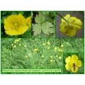 Renoncule rampante, Bouton d'or - Ranunculus repens - 036