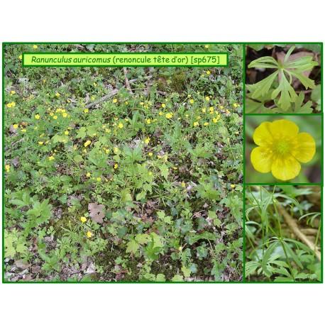 Renoncule tête d'or - Ranunculus auricommus - 675
