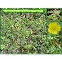 Renoncule tête d'or - Ranunculus auricomus - 675