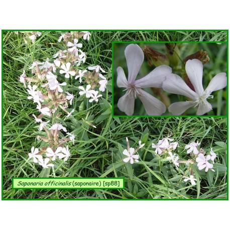 Saponaire - Saponaria officinalis - 88