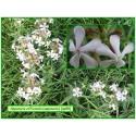 Saponaire - Saponaria officinalis - 088