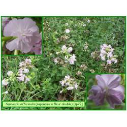 Saponaire à fleurs doubles - Saponaria officinalis var. - 079