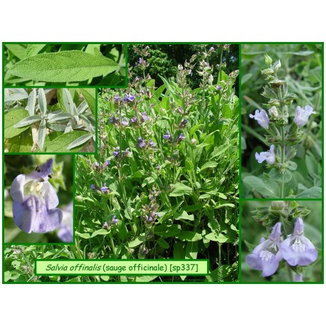 Sauge officinale - Salva officinalis - 337