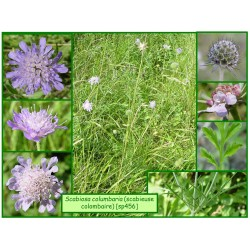 Scabieuse colombaire - Scabiosa columbaria - 456