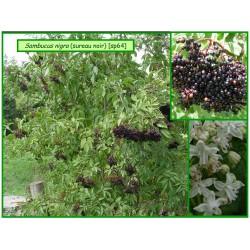 Sureau noir - Sambucus nigra - 064