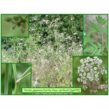 Torilis faux cerfeuil - Torilis japonica - 470