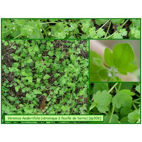Véronique à feuilles de lierre - Veronica hederifolia - 306