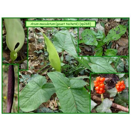 Arum ou gouet tacheté - Arum maculata - 268